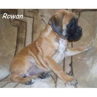 AKC Full Euro Boxer Puppies Available