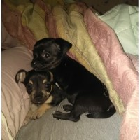 Chihuahua Puppies For Sale, Not Registered Chihuahua for sale/adoption