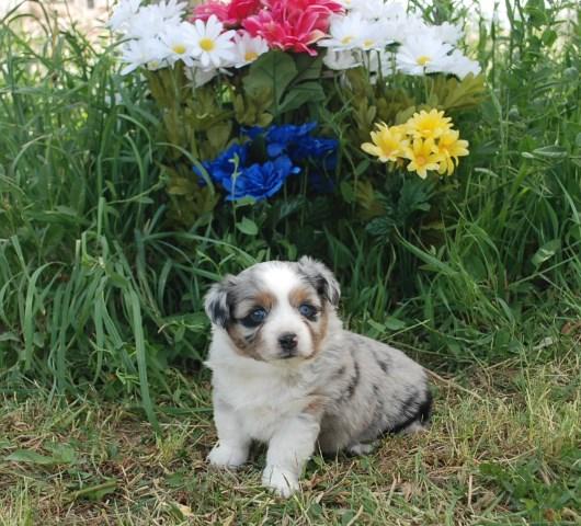 Pembroke Welsh Corgi puppy dog for sale in Wellington, Colorado