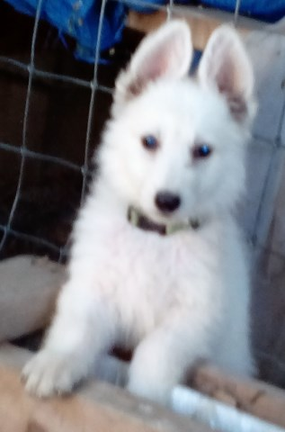 Beautiful White German Shepherd Puppies from Grand Champion lines $600 each