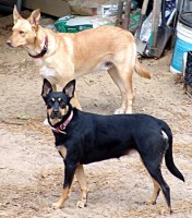 Australian Kelpie Dogs and Puppies for Adoption