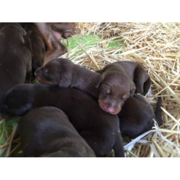 All Dark Red Working Line Euro Doberman Puppies From Titled Sire