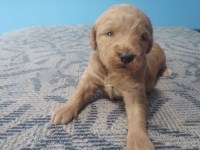 Mattie/Moyen f1b Labradoodle Labradoodle for sale/adoption