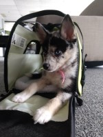 Pomsky Puppies and Dogs for Sale in New York