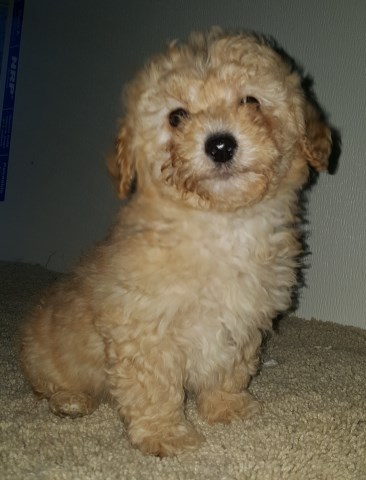Poodle Toy puppy for sale + 55015
