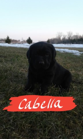 Labrador Retriever puppy dog for sale in Turtle Lake, Wisconsin