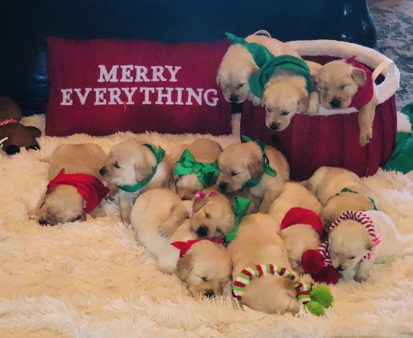 Golden puppies ready for Christmas