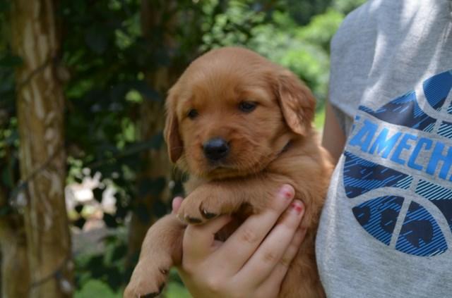 Golden Retriever Puppy Dog For Sale In Murphy North Carolina