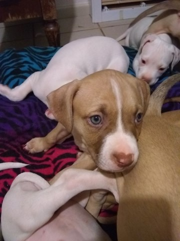 American Staffordshire Terrier puppy dog for sale in Irving