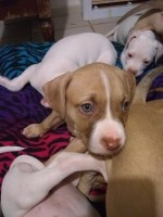 American staffordshire terriers puppies American Staffordshire Terrier for sale/adoption