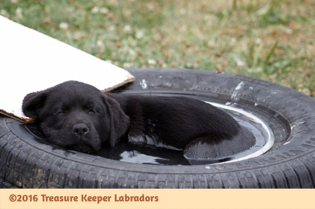 AKC Black Labrador Retriever Started Adolescent Puppies M & F