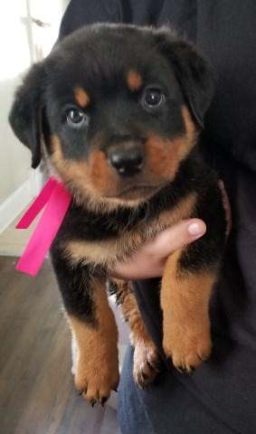 Rottweiler Puppy Dog For Sale In Alliance Ohio