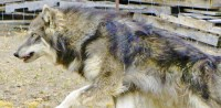 Alaskan Malamute Dogs and Puppies for Adoption