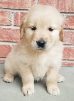 Half English Cream Females, Ichthyosis clear Golden Retriever for sale/adoption