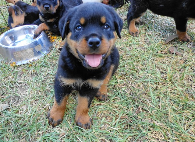 Rottweiler Puppy Dog For Sale In Bolton Mississippi