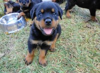 Rottweiler Puppies And Dogs For Sale Near You Page 2