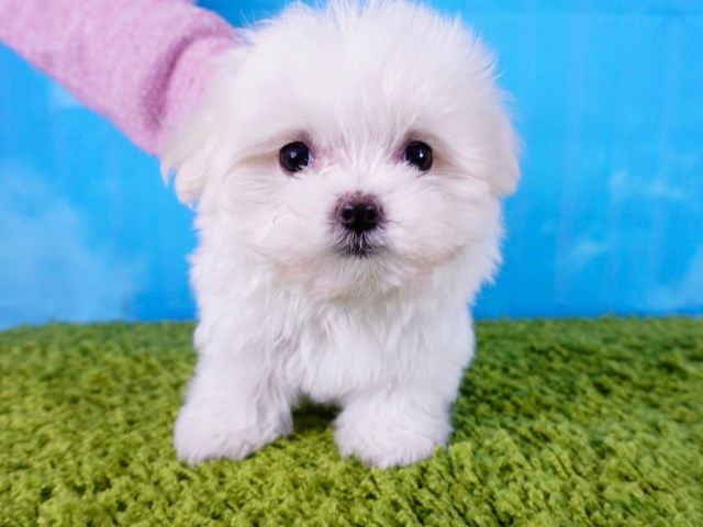 Maltese – Female puppy - Cotton Ball ($3,000)*Tcup*