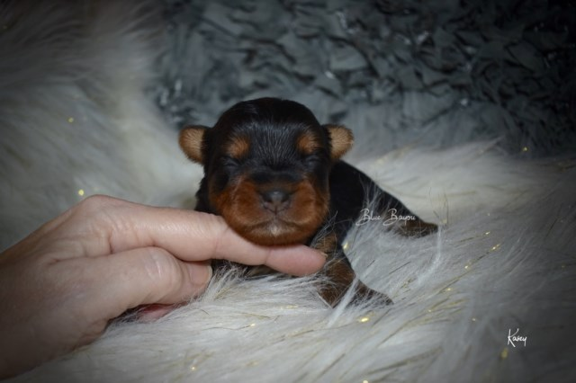 Tiny Toy Female Yorkie (Kasey)