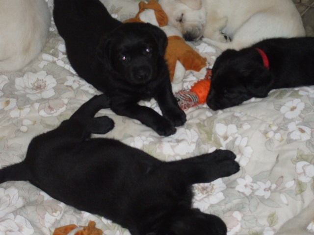 Labrador Retriever Puppies 12 weeks old and ready for new homes