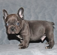 Gorgeous Male French Bulldog puppy for sale French Bulldog for sale/adoption