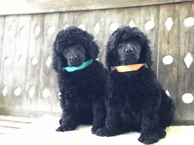 AKC Standard Poodle Puppies