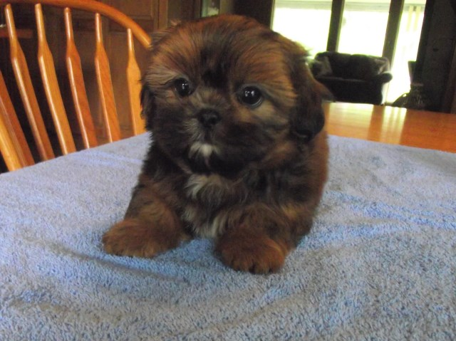 Shih Tzu Puppy Dog For Sale In Roscommon Michigan