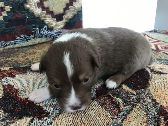 Australian Shepherd Dog puppy dog for sale in Nigeria