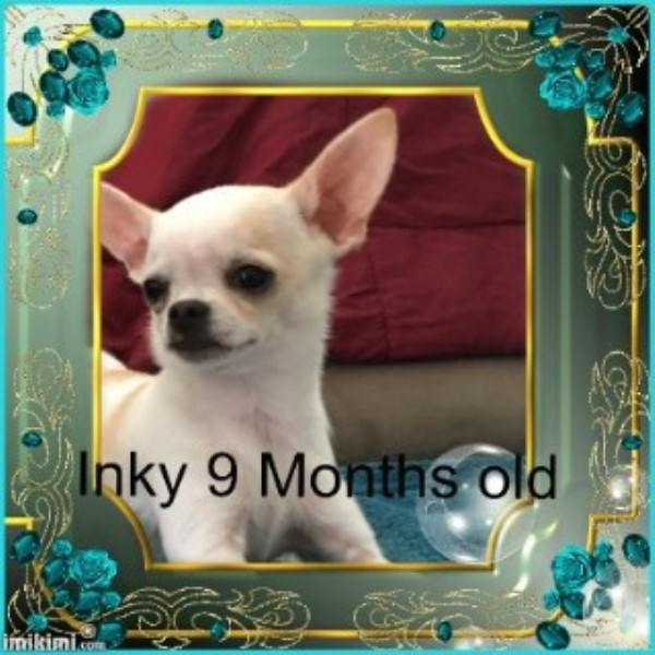 Apple Head Chihuahua Male 9 Mo  Reduced Chihuahua for sale/adoption