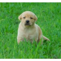 Handsome AKC English Dark Yellow Lab Male Puppy**nice Show Lines** Labrador Retriever for sale/adoption