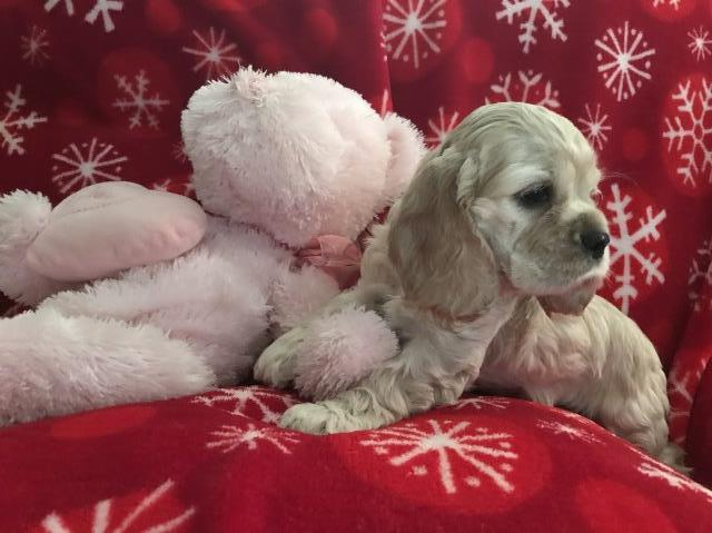 American Cocker Spaniel puppy for sale + 55542