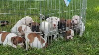 Olde English Bulldogge pups English Bulldog for sale/adoption