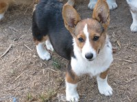 Pembroke Welsh Corgi Puppies and Dogs for Sale in Ohio
