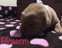 AKC Fox Red and Black Lab puppies Labrador Retriever for sale/adoption