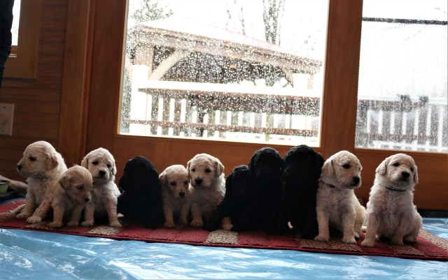 Goldendoodle puppy for sale + 55106