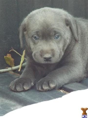 Labrador Retriever Puppy Dog For Sale In Missouri City Texas