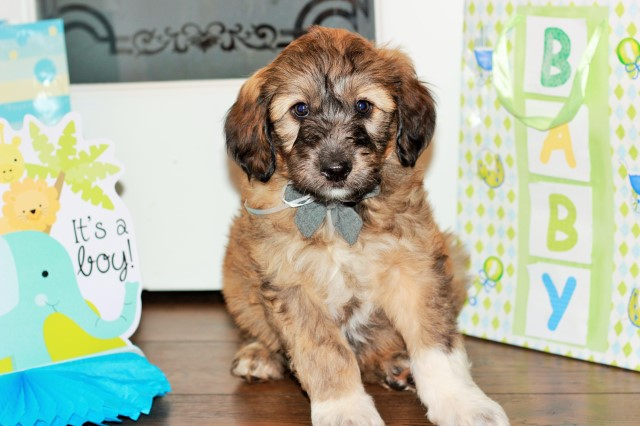 English Shepherd puppy for sale + 61055