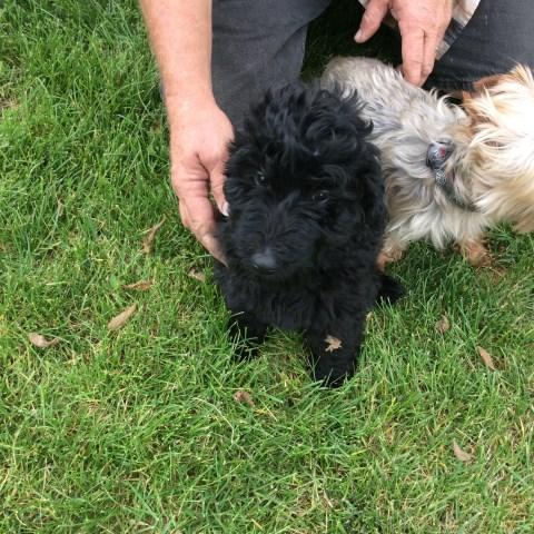 Goldendoodle Puppy Dog For Sale In Pueblo Colorado