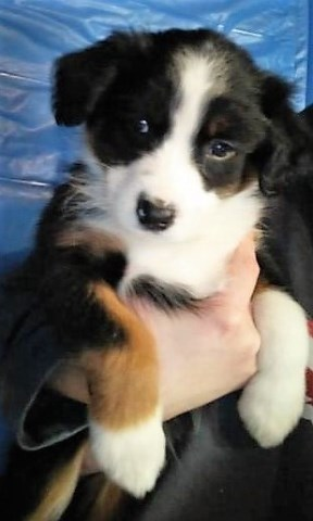 Australian Shepherd Dog puppy dog for sale in KENOCKEE TOWNSHIP