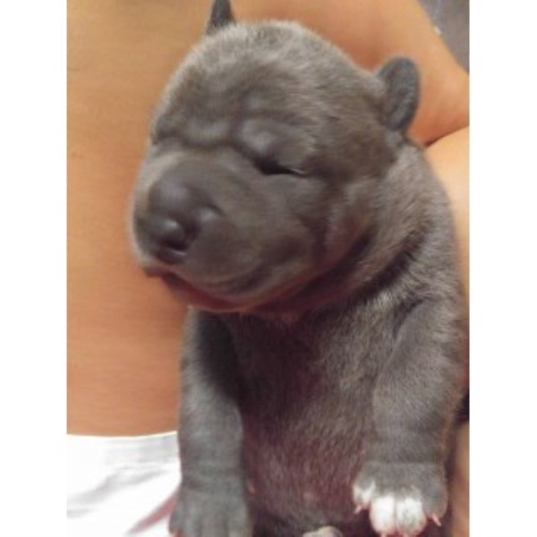 American Staffordshire Terrier puppy dog for sale in