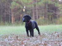 AFC Sired Black Lab Females Labrador Retriever for sale/adoption