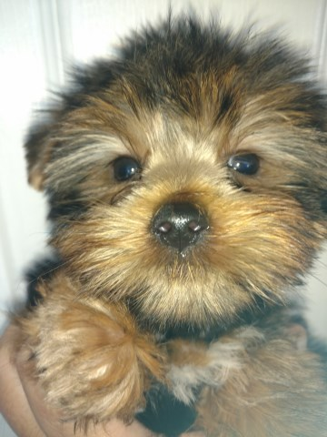 Yorkshire Terrier Puppy Dog For Sale In Columbus Ohio