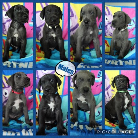 Great Dane puppy for sale + 58631
