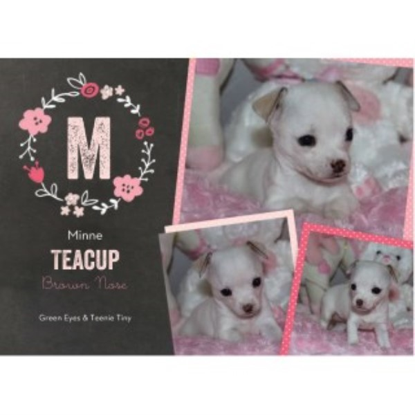 Tiny Teacup Rare Chihuahua Puppies Must See Chihuahua for sale/adoption