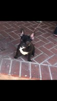 AKC Female French Bulldog of 6 Months for Sale French Bulldog for sale/adoption