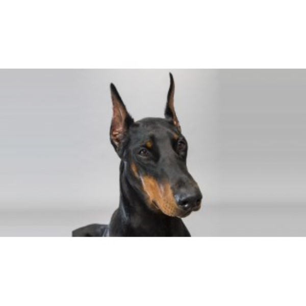 AKC Doberman Puppies For Sale (expected 8/2016) Doberman Pinscher for sale/adoption