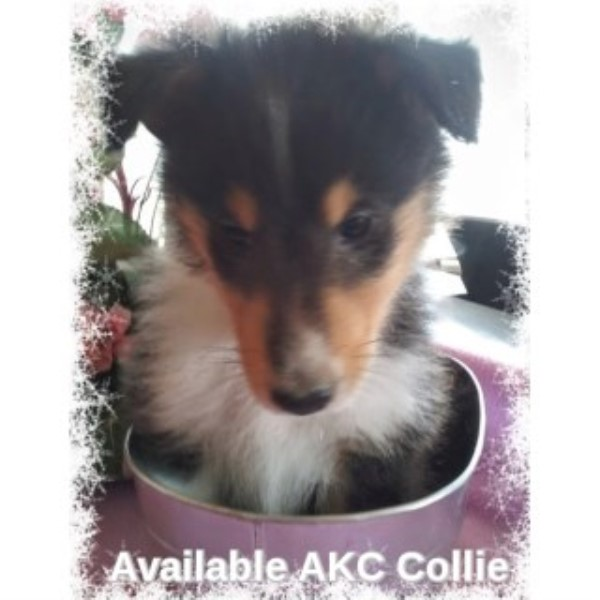 AKC Collie Puppy 1 Sable Merle 3 Tri Colored All Male