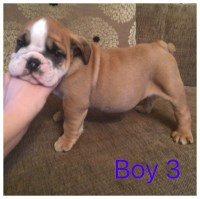 Ready Now Stunning Show Quality Bulldog Pups English Bulldog for sale/adoption