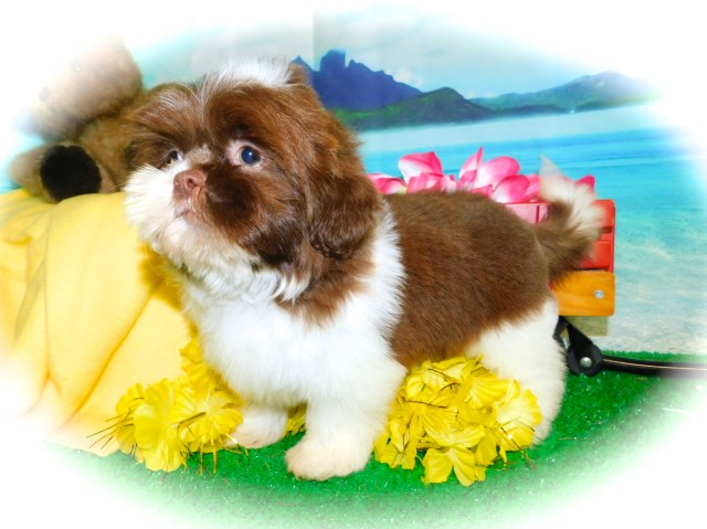 Shih Tzu Babies. Nonshedding. Great 4 KIDS! Financing.