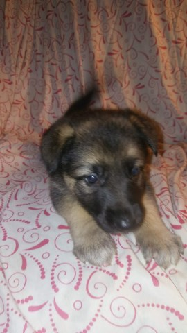 German Shepherd Dog Puppy Dog For Sale In Jeffersonville Indiana