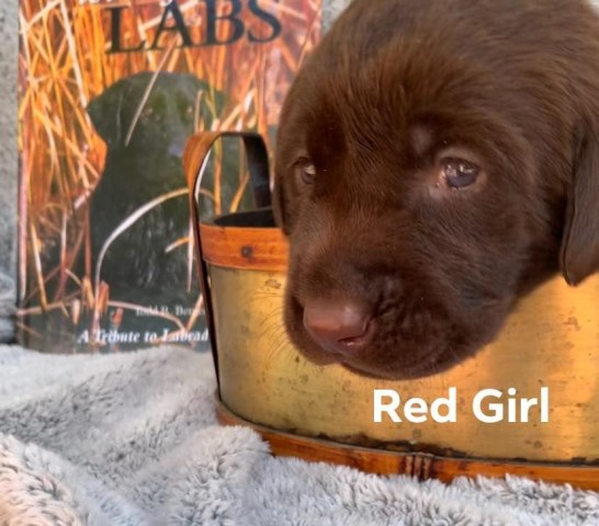 Labrador Retriever puppy for sale + 56223